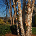 River Birches, Arcadia, NC, 2011