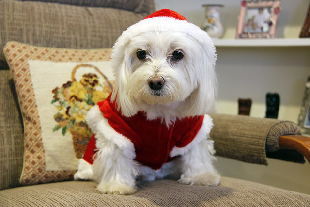 Picture Of Lucky The Maltese Dog In His Santa Costume