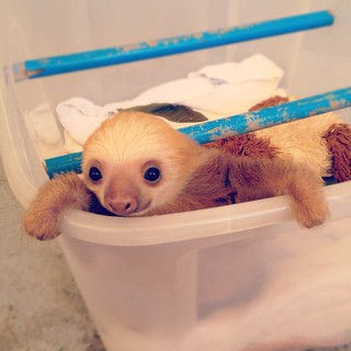 Luigi the baby sloth | by aledlewis