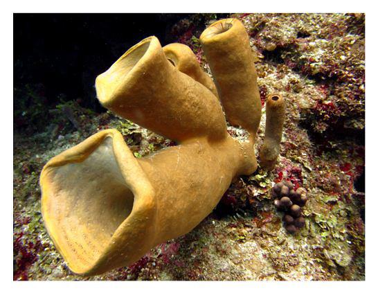 Морская губка, фото беспозвоночные животные фотография картинка