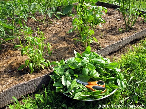 Harvesting basil in the June kitchen garden | by Farmgirl Susan