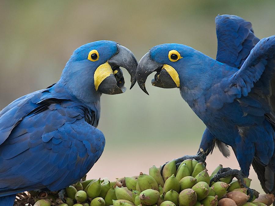 Hyacinth Macaw (Anodorhynchus hyacinthinus) - 215.5KB