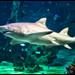 White Shark, Sydney Aquarium