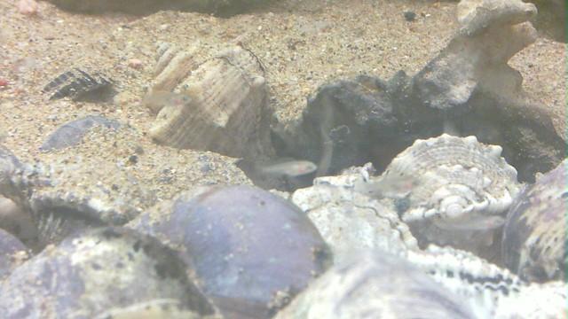 Neolamprologus Similis : Neolamprologus similis Flickr - Photo Sharing!