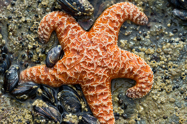 Purple starfish on anus