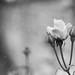 Rosas del año 1~
