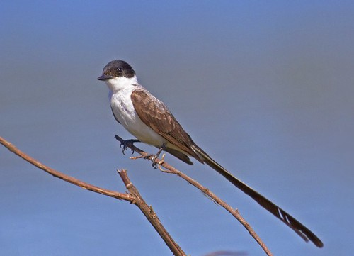 Tesourinha (Fork-tailed Flycatcher) | by Bertrando©