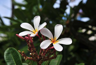 Hawaii Flowers 01 | by cowboy6688