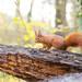 Un écureuil  sur un tronc, Red Squirrel