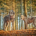 Hounds in the Forest