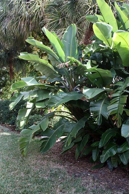 white bird of paradise tree flickr photo sharing. Black Bedroom Furniture Sets. Home Design Ideas