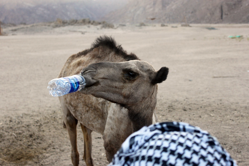 Camel drinking water from bottle