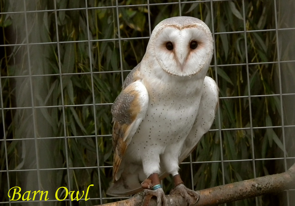 Barn Owl 271011 264 F Barn Owls Quot Tyto Alba