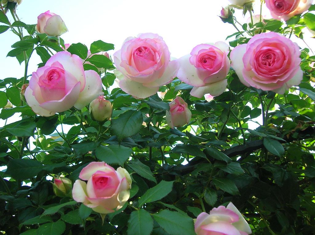 Rosa pierre de ronsard adricoco flickr for Pierre de ronsard rosa