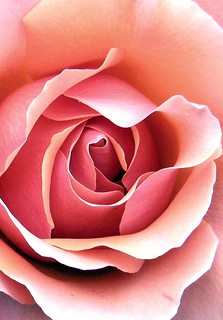 rosebud3 | by heather_lss