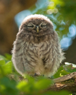 Hush Little Baby!!    (Young Little Owl) | by marsch1962