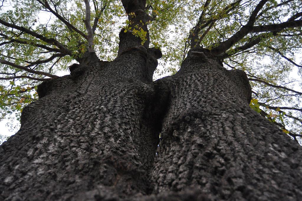 Legacy oak tree in an oak restoration project in jackson c for Legacy restoration
