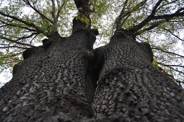 Legacy oak tree in an oak restoration project in jackson for Legacy restoration
