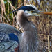 Great Blue Heron (explore)