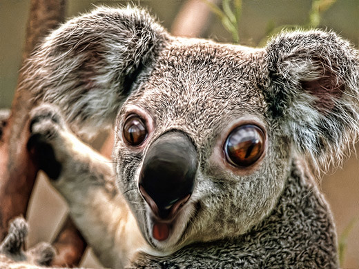 Caricature of Koala | by eyecmore