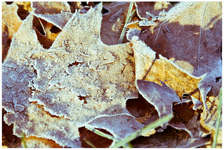 Frosty Leaves | by kevin brannan