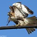 Young Red-tailed Hawk - Freshwater City, Louisiana