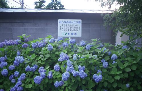 asahigaokakoennoajisai01