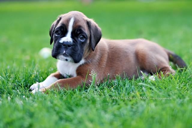 ... stocky, medium-sized, short-haired dog. (3)   Flickr - Photo Sharing