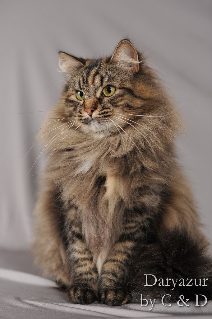 Siberian Cat Kitten Pictures