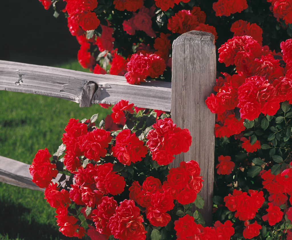 Red roses climbing a rustic fence i found these blooming for Climbing flowering plants for fences