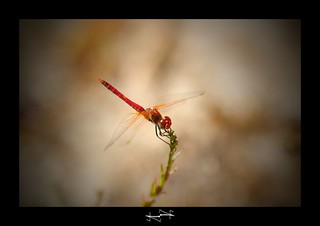 libellule rouge | by '^_^ Damail Nobre ^_^'