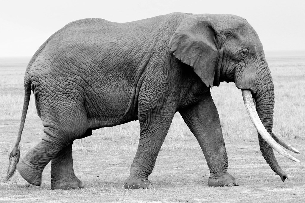 adult elephant in profile ngorongoro crater tanzania. Black Bedroom Furniture Sets. Home Design Ideas