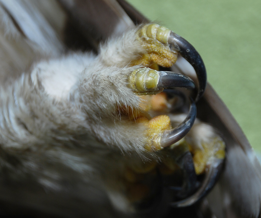 Barred Owl feet (2011November11 (200) copy) | Glori Berry ...