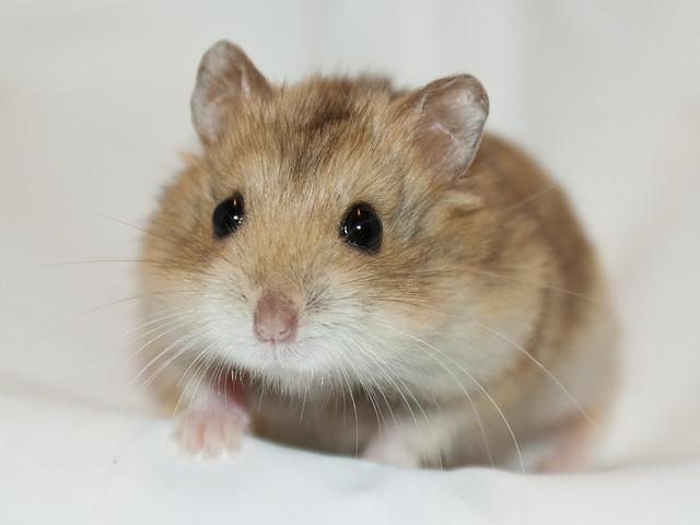 Black Eyed Argente hamster | Flickr - Photo Sharing!  Black Eyed Arge...