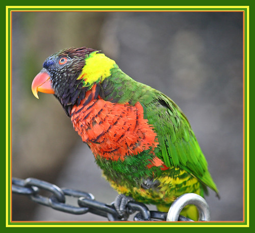 """Why do Lorikeets do well in school? They are very bright""~ 