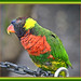 """Why do Lorikeets do well in school? They are very bright""~"