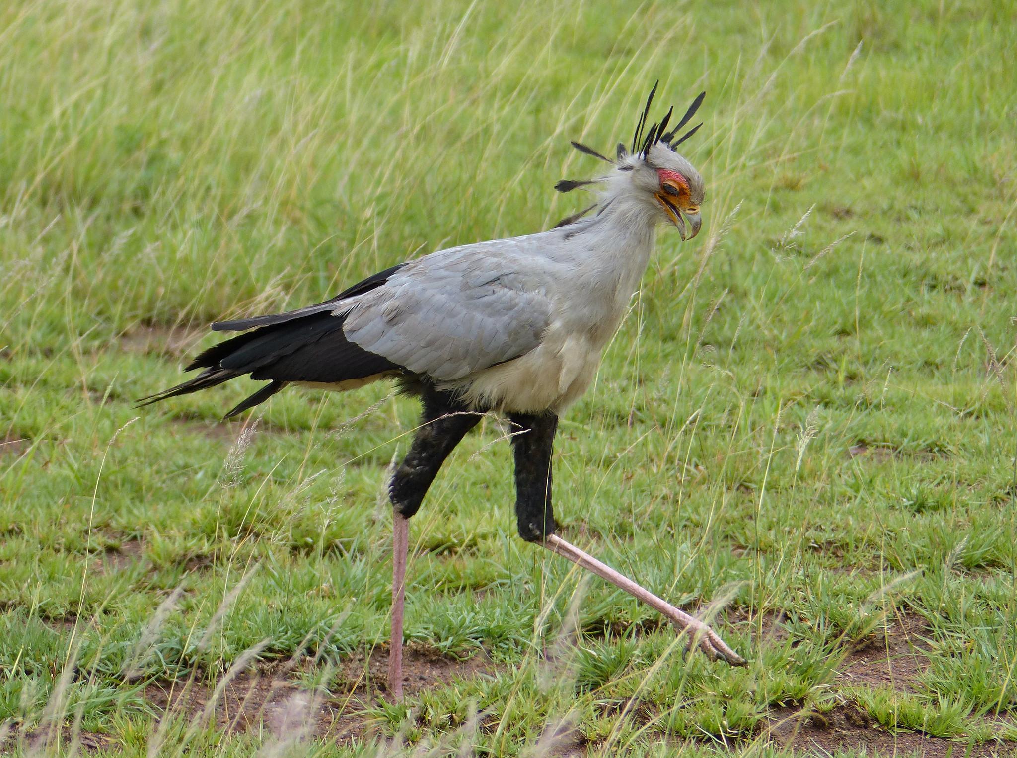 Арты птица секретарь
