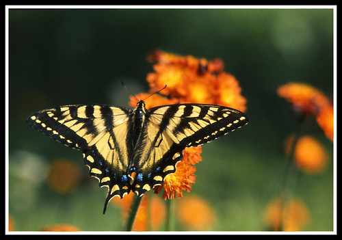 Yellow Butterfly | by maoby