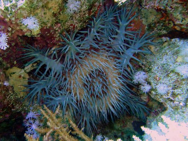 Red Crown of Thorns Starfish eating coral on Ras Za'atar ...