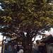 TOKYO DAYS ~ Yanaka ~ The Himalayan Cedar