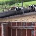 Cows in barnyard