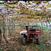 葡萄園  Vineyard