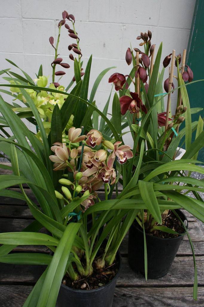 Green Cymbidium Orchid Plant Cymbidium Orchid Plants