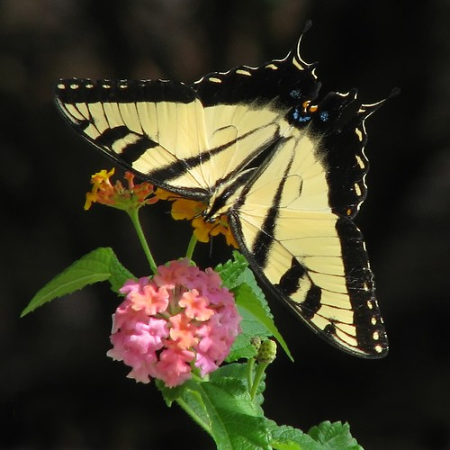 12 Days of Christmas Butterflies - #1 Eastern Tiger swallowtail | by Vicki's Nature