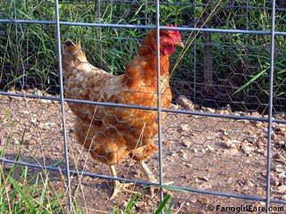 Lindy the Chicken safely back in her pen | by Farmgirl Susan