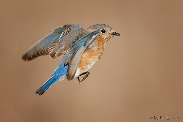 Eastern bluebird in flight - photo#11
