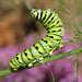 Black swallowtail caterpillar in fennel