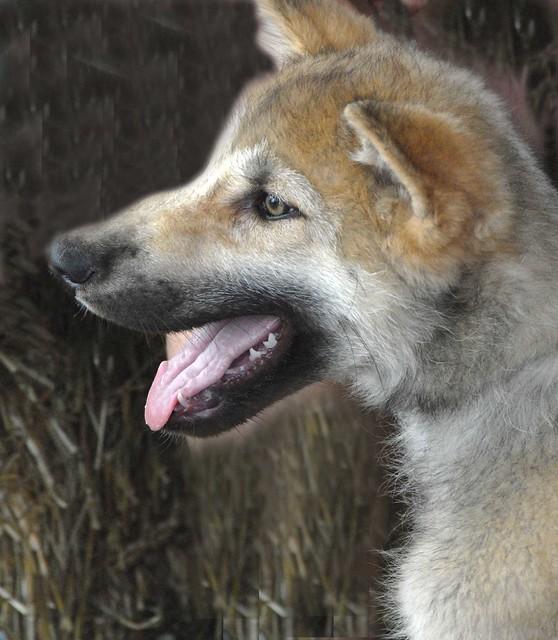 Cute Wolf Puppy. | Flickr - Photo - 134.1KB