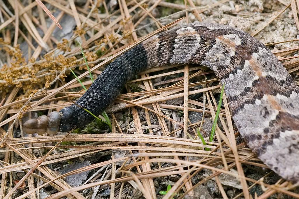 Timber Rattlesnake   Kisatchie Ranger District (and ...