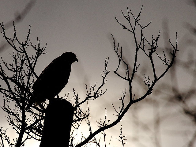 Red-tailed Hawk Silhouetted | Flickr - Photo Sharing!